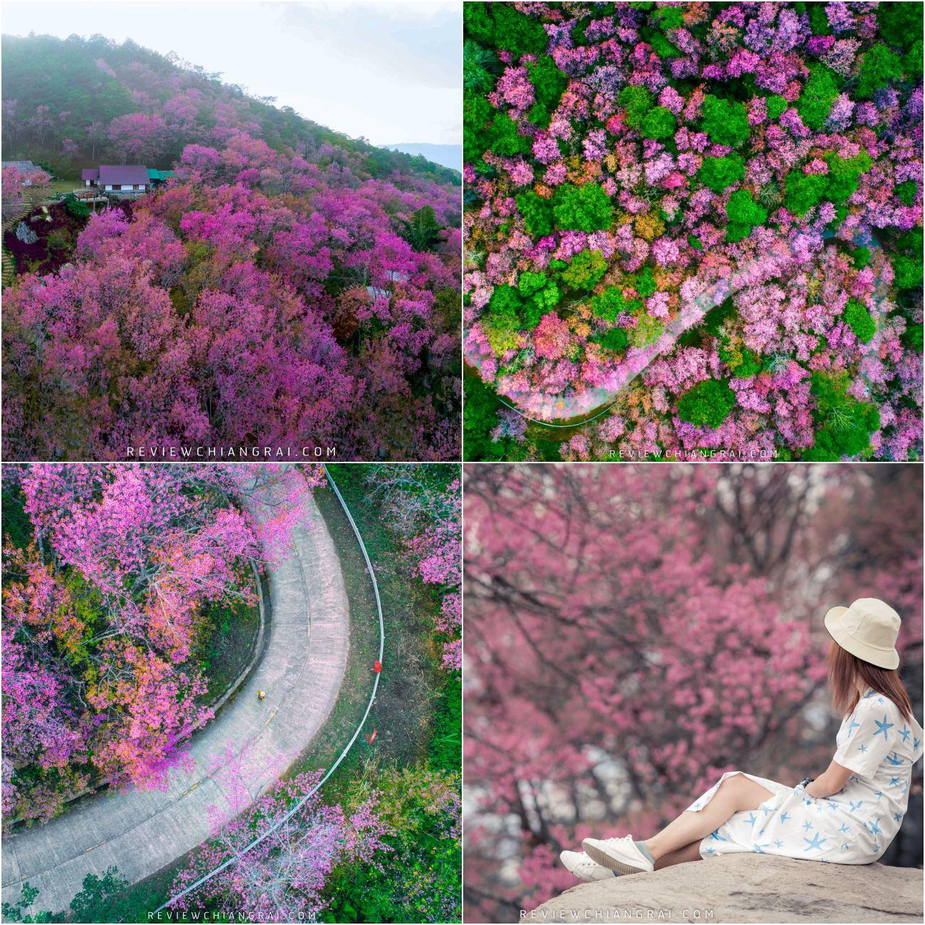 พิกัดปักหมุด ซากุระภูชี้ฟ้า จุดเช็คอินชมซากุระเมืองไทยอีกที่หนึ่งบรรยากาศดีมวากก พร้อมวิวธรรมชาติสวยๆไม่ต้องไปถึงญี่ปุ่นวิวไม่แพ้กันแน่นอน